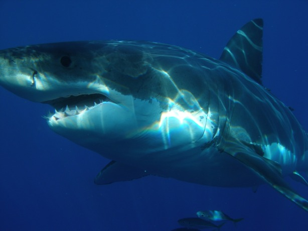 great-white-shark-398276_1280 via Pixabay.com
