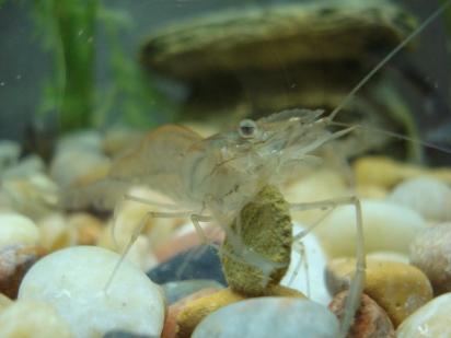 Ghost Shrimp via Jason Fether (Flickr)